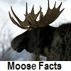 explore moose facts