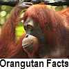 see orangutan facts