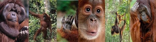 orangutan collage