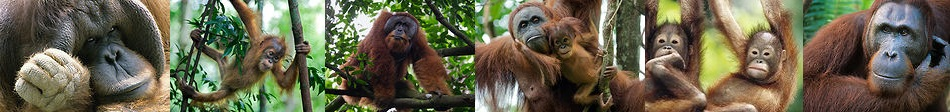 orangutan photos