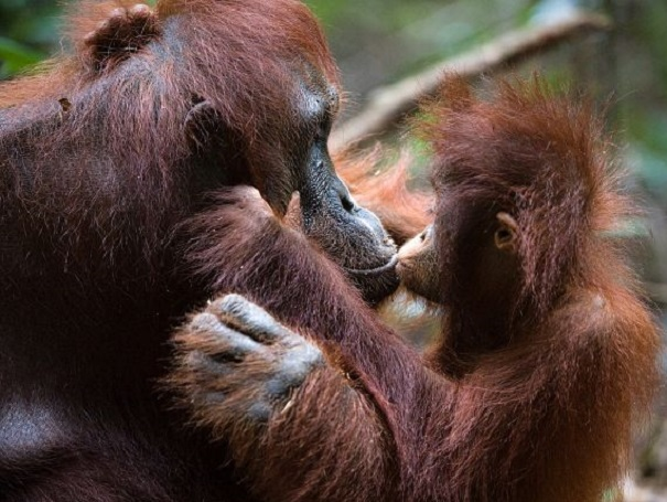 Orangutan mother and baby kissing