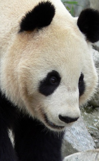 an overview of the diet and other characteristics of the panda a bear species All other living mammalian species nearly 94% of all mammal species now are placental mammals (5,080 species out of 5,416) whale, dolphin, monkey.