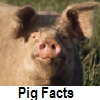 check out pig facts