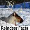 explore reindeer facts