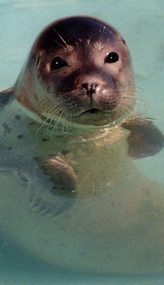 Seal portrait - seal facts
