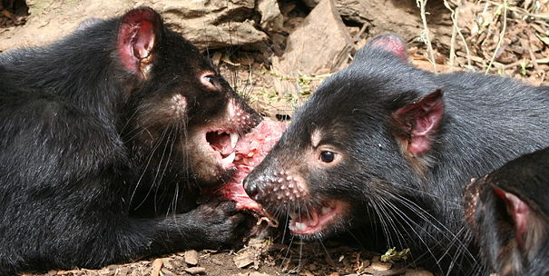 Tasmanian Devil Facts Animal Facts Encyclopedia