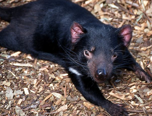 Tasmanian devil flat out