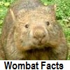explore wombat facts