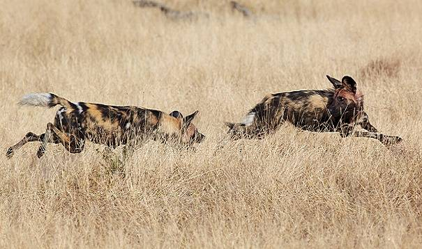 African wild dog play date