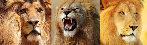 triple-male-African-lions