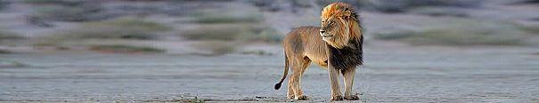 African lion panorama