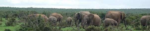 African elephant panorama