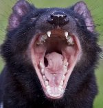 Tasmanian devil mouth
