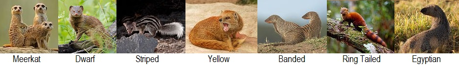 mongoose species