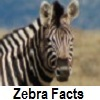 see zebra facts