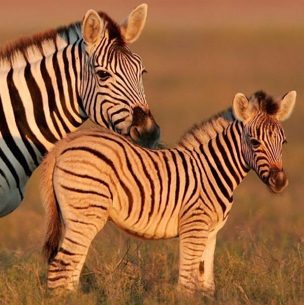 Burchell's zebra mom and baby