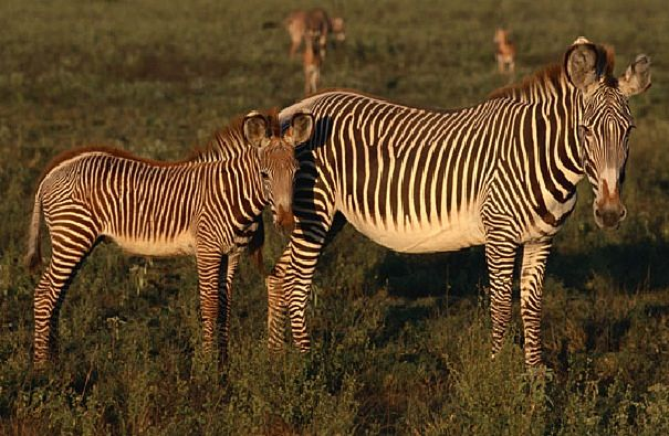 grevys zebra mother and foal