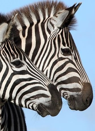 zebra portrait-zebra facts