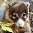 Mexican raccoon