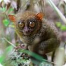 tarsier facts