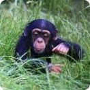 Chimp Facts