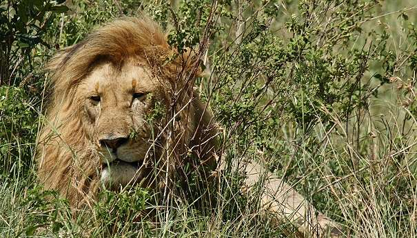 old male African lion
