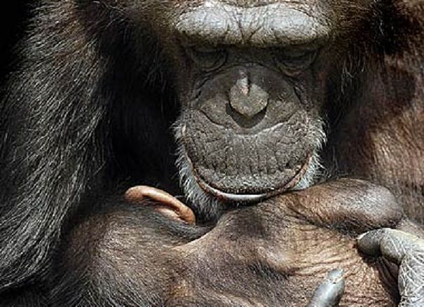 chimp mother with baby n arms