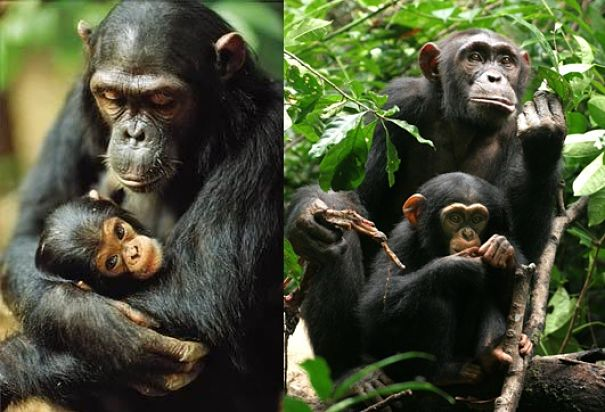 chimp mothers and babies