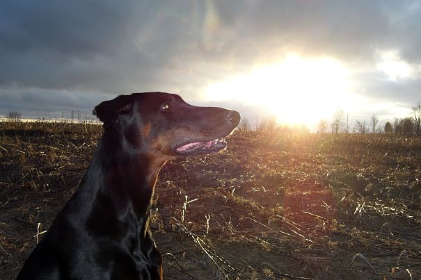 Doberman at twilight
