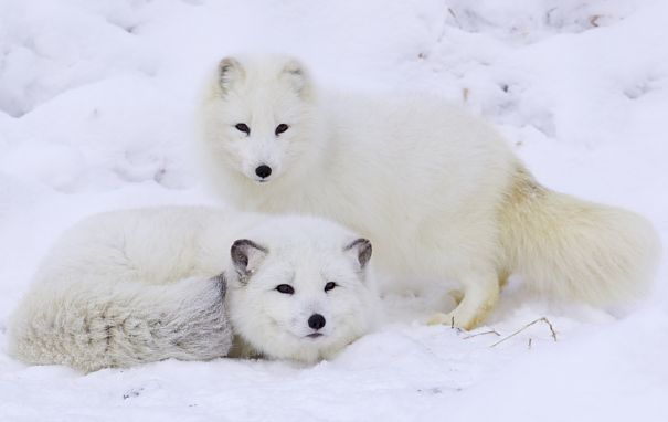 arctic fox pair