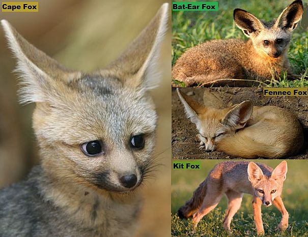 types of foxes