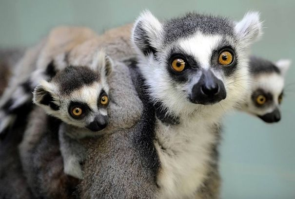 ring-tailed lemur mother and babies