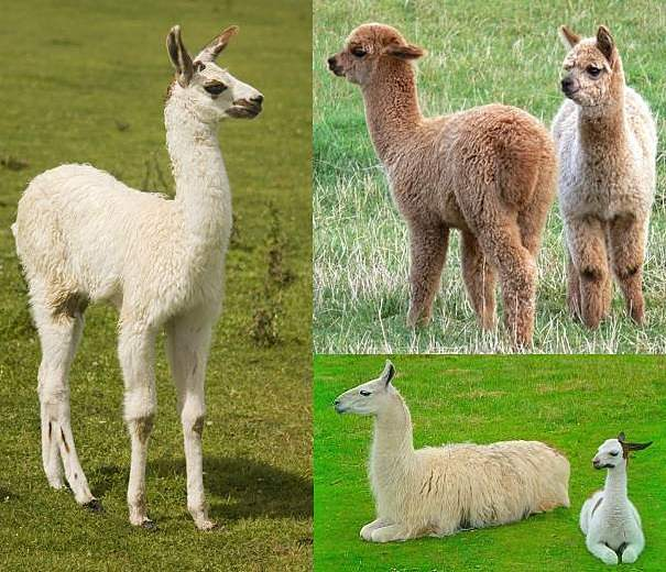baby llamas and alpacas