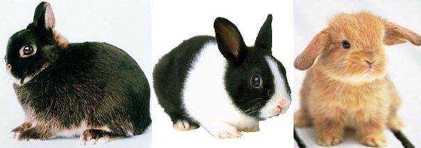 Netherland dwarf, Dutch, Mini-lop