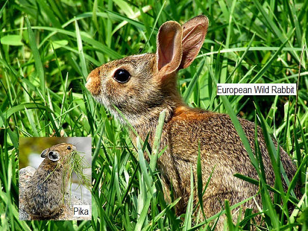 European rabbit with pika