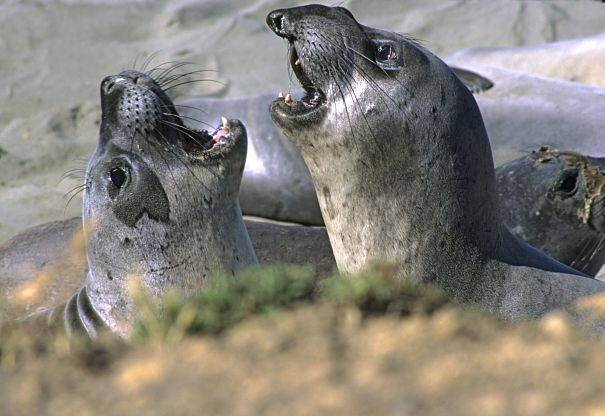 young male and female elephant seals