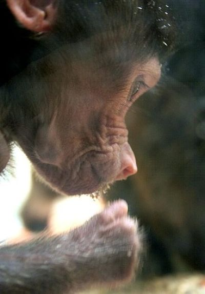 baby baboon concentrating