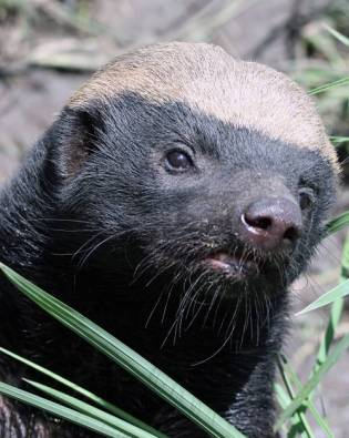 honey badger portrait
