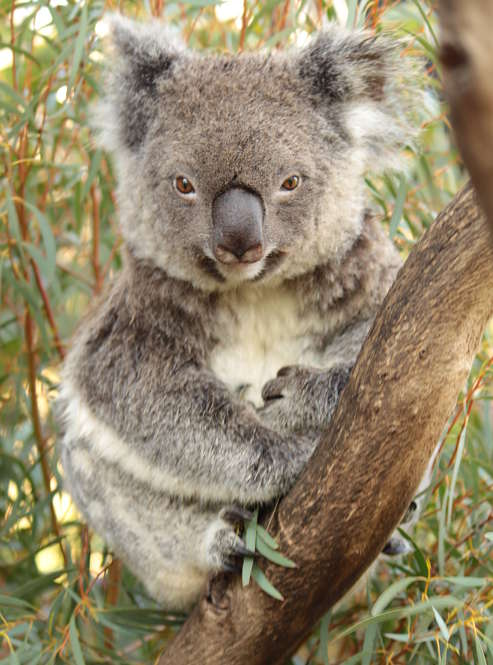 koala bear portrait
