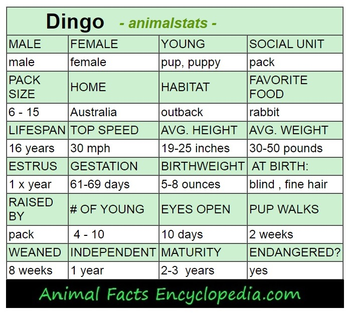dingo animal stats