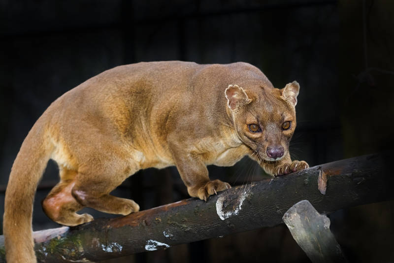 fossa on a log