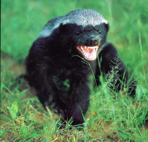 snarling honey badger