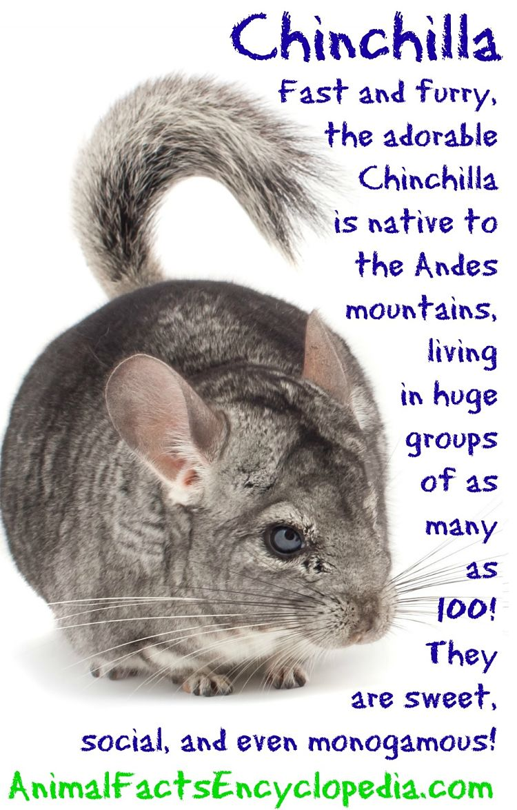chinchilla info