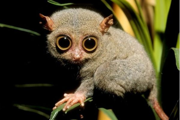 tarsier showing pupils dilated