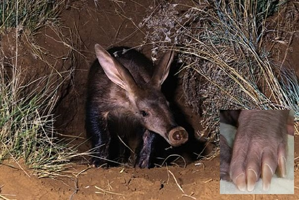aardvark in burrow