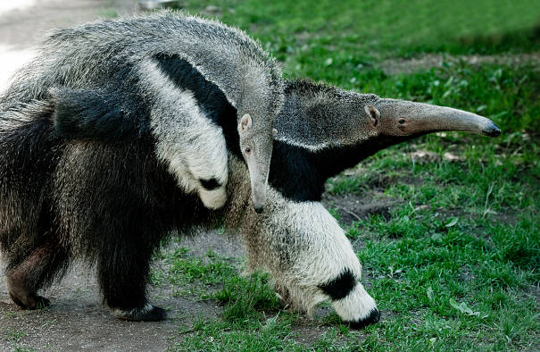 giant anteater mother and baby