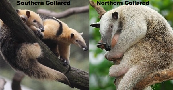 collared anteaters or tamanduas