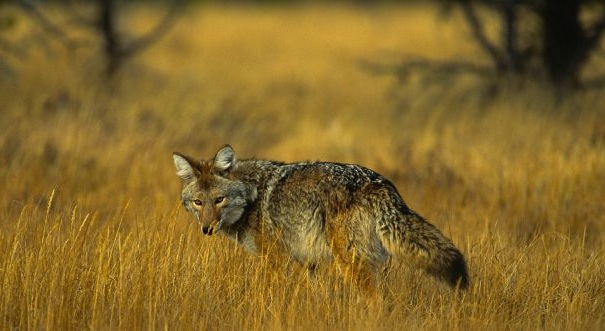 coyote in golden prarie