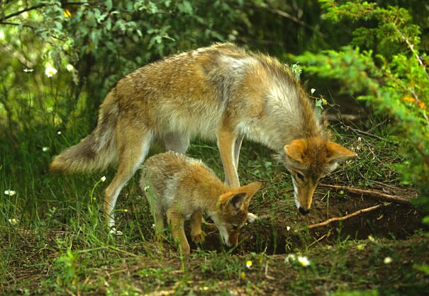 coyote mother and pups