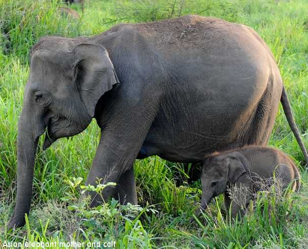 Asian Elephant Mother And Calf